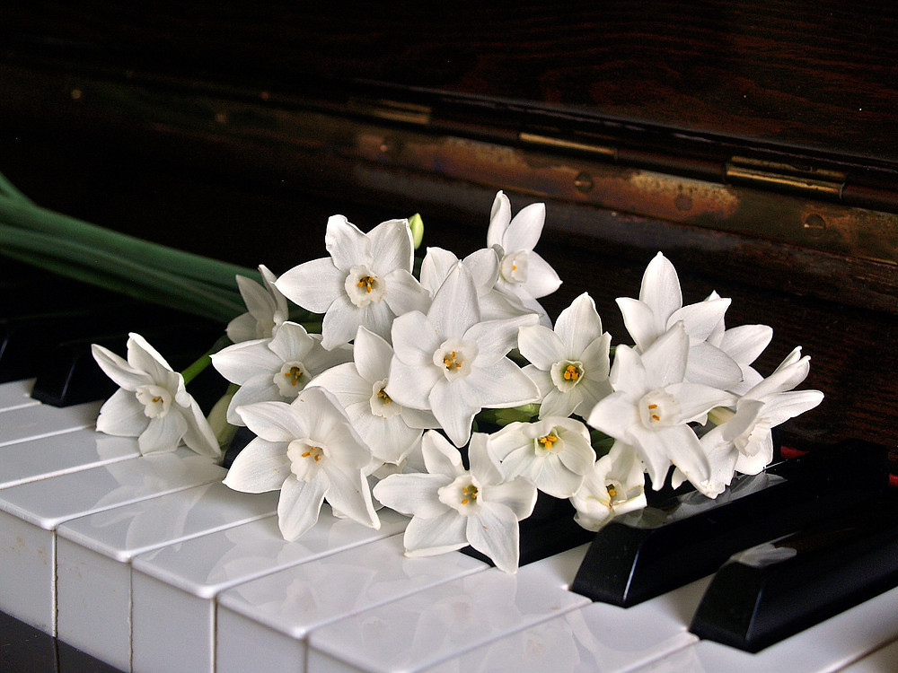 white daffodil flowers on a piano