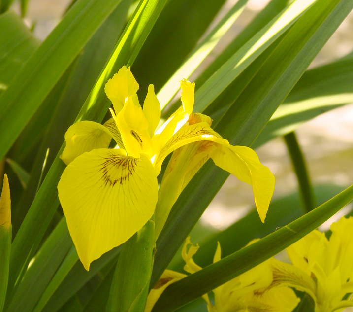 yellow iris with green leaves