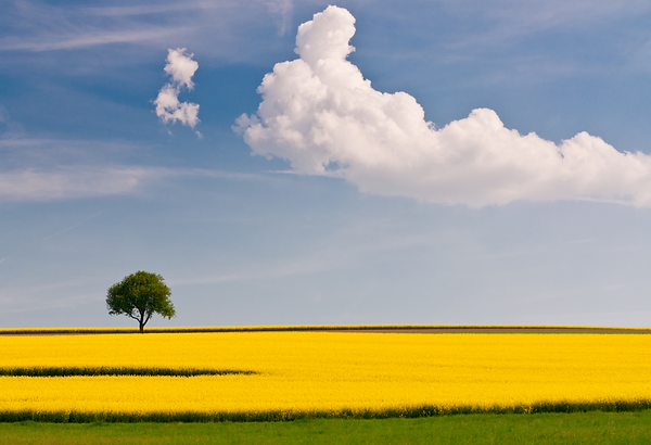 About US Canola Field.PNG
