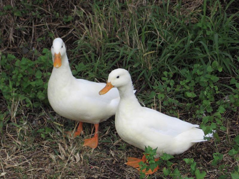 Olivewoods Ducks