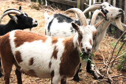 Goats at Scenic