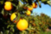 Florida Oranges.jpg