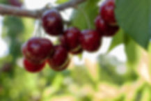 bigstock-Big-Red-Cherries-With-Leaves-A-