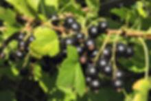 Black-Currants-Hi-Res.jpg