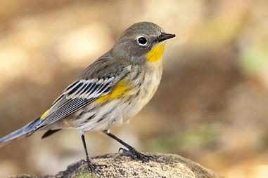 identifying bird  sounds