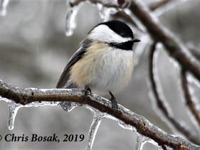 For the Birds: How Birds Survive Winter