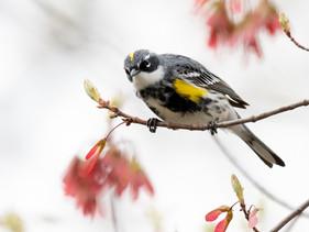 Mount Auburn walk bird sightings from May 9, 2021