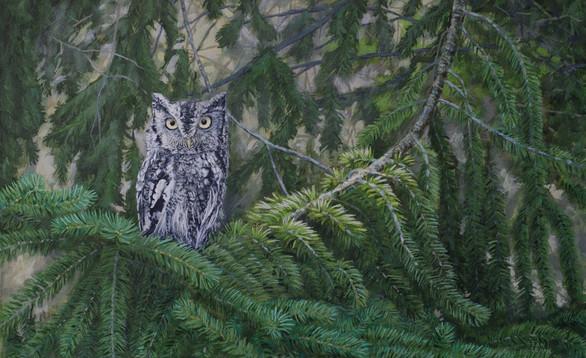 Screech Owl in Spruce Tree