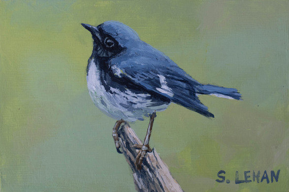 Black-throated Blue Warbler 2020