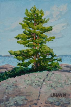Pine Portrait