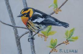 Blackburnian Warbler 2020