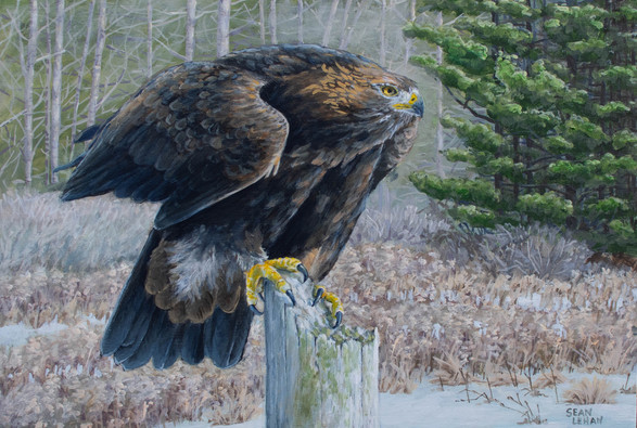 Golden Eagle in November