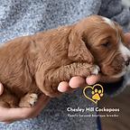 Cockapoo Puppies NH Chesley Hill Cockapoos