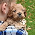Cockapoo Family Breeder NH Chesley Hill Cockapoos