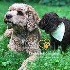 Cockapoo Puppies New England Chesley Hill Cockapoos