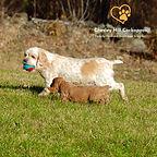 Cockapoo Breeder NH Chesley Hill Cockapoos