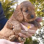 Cockapoo Puppies New England Cockapoo Puppies NH Chesley Hill Cockapoos