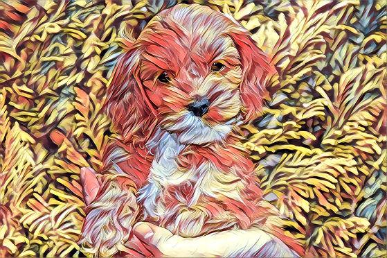 Chesley Hill Cockapoos Cockapoo Puppies New England