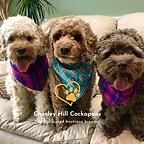 Cockapoo Puppies New Hampshire Chesley Hill Cockapoos