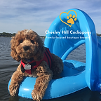 Cockapoo Puppy NH Chesley Hill Cockapoos