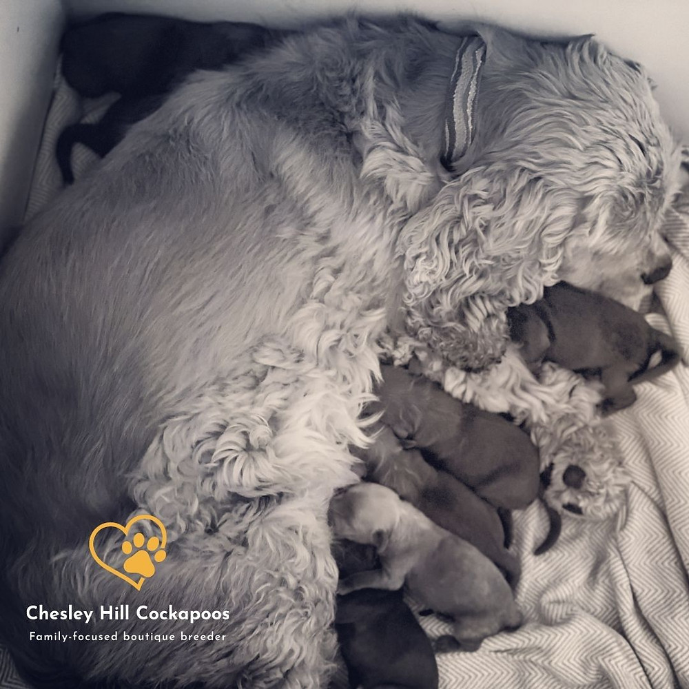 Newborn Cockapoo puppies cuddling and nursing with their momma, Apple who is a buff petite Cocker Spaniel.  Our family is so in love with these puppies already!