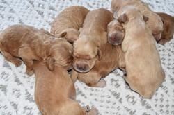 Eevee's Pups