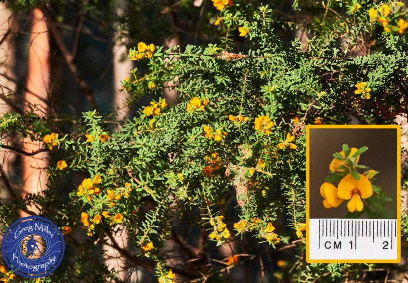 Pultenaea villosa.jpg