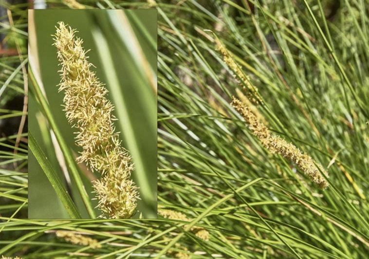 Carex appressa.jpg
