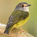 Pale Yellow Robin.jpg