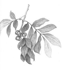 leaves-and-fruit-paul.jpg