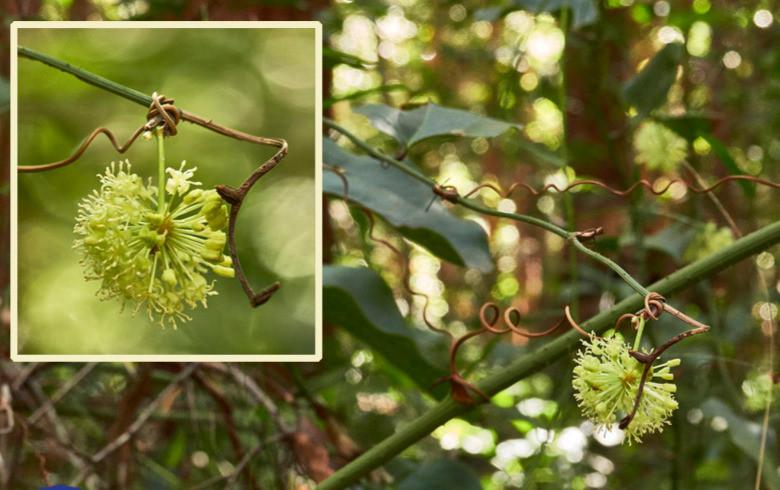 Smilax australis.jpg