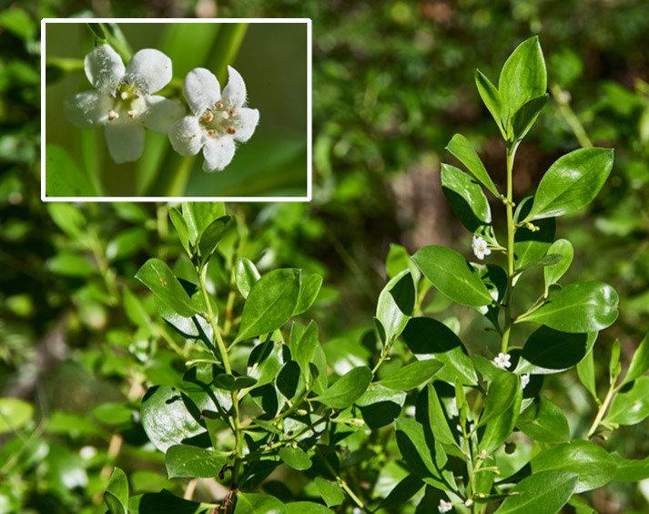 Myoporum boninense.jpg