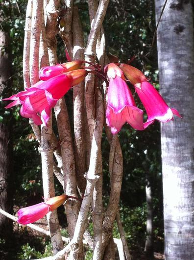 Tecomanthe hillii (Fraser Island Creeper)