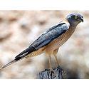 Collared Sparrowhawk.jpg