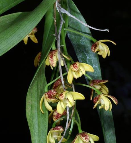 Dendrobium gracillicaule
