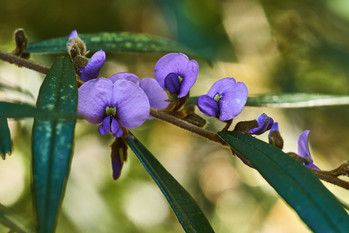 Hovea acutifolia (Purple Pea Bush)