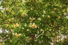 Hymenosporum flavum (Native Frangipani)