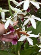 Phaius australis (Swamp Orchid) formerly Phaius tankervilleae