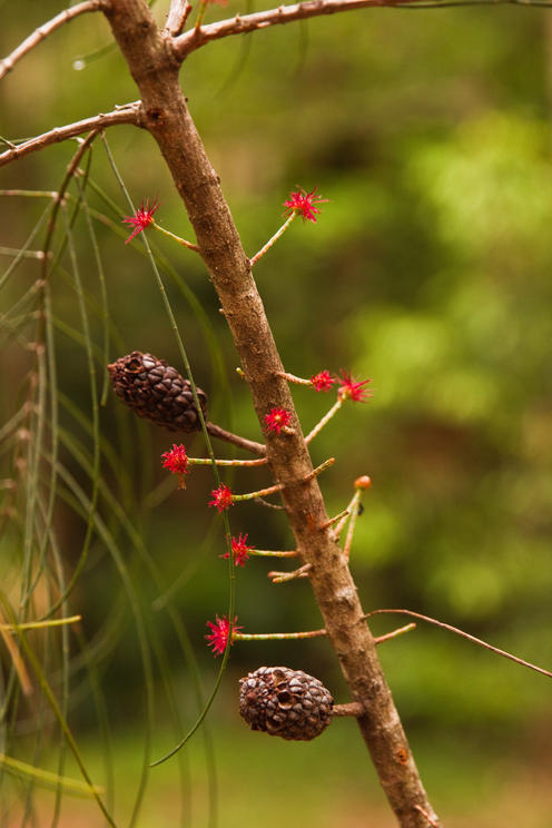 Allocasuarina thalassoscopica (Mount Coolum She Oak)