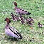 Australian Wood Duck.jpg