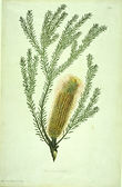 Banksia_ericifolia_watercolour_from_Bank