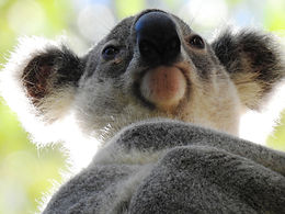 090719 121 koala 5.jpg