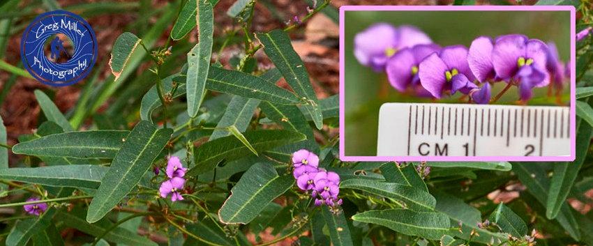 Hardenbergia violacea.jpg