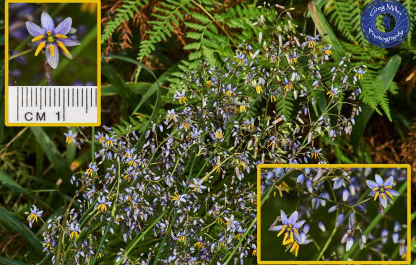 Dianella longifolia.jpg