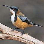 Eastern Spinebill.jpg