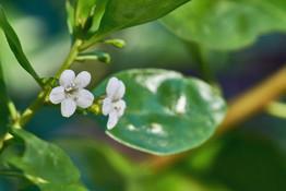 Myoporum boninense (Mangrove Boobialla)