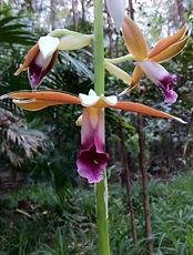09.2011 Phaius orchids in Ephemeral Area