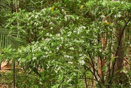 Tabernaemontana pandacaqui (Banana Bush)