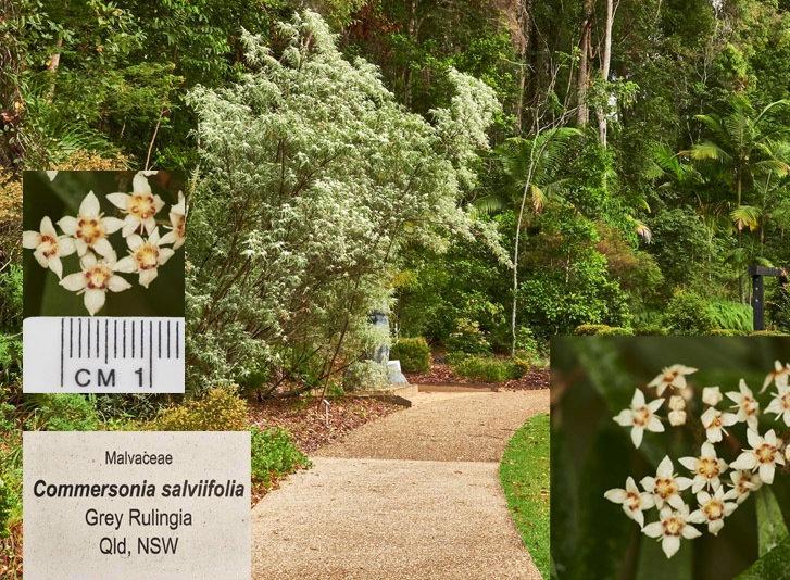 Commersonia salviifolia.jpg