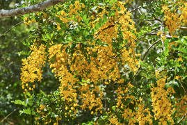 Cassia tomentella